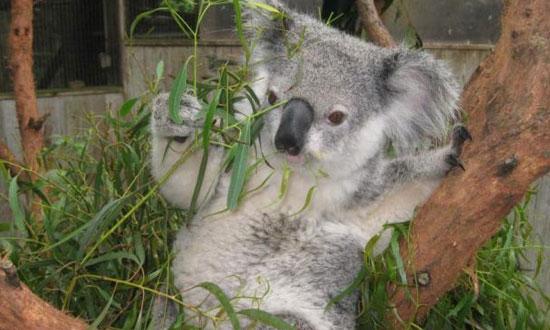 video lucu koala,koala,video,lucu