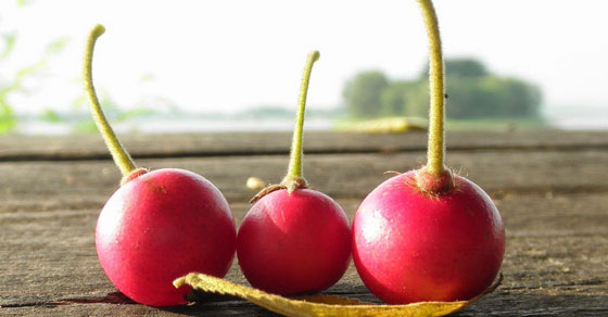 buah kersen,talok,kersen