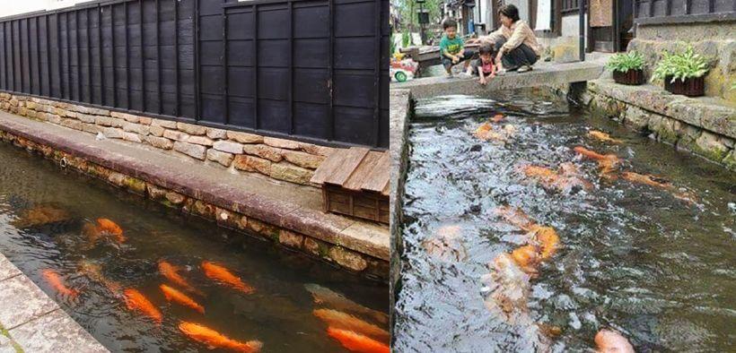 Foto keindahan got jepang dihuni banyak ikan koi