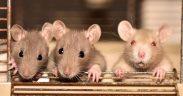 Bahan alami untuk usir tikus