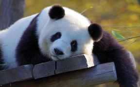 Alasan ilmiah panda makan bambu