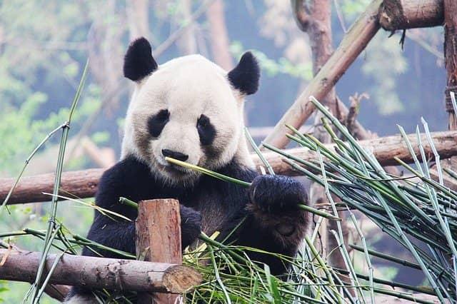 Panda sedang makan bambu