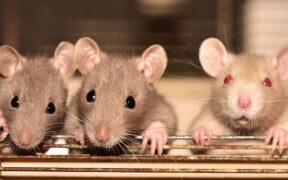 Bahan alami pengusir tikus